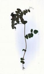 burren leaf0001